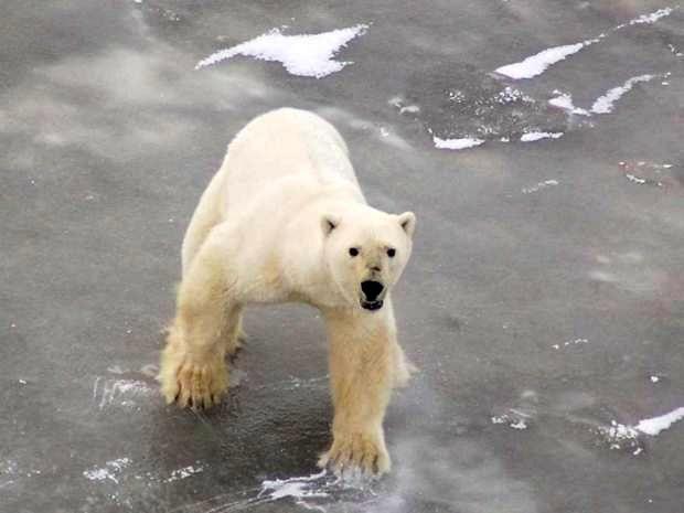 27 февраля – международный день полярного медведя - Новости Якутии ...