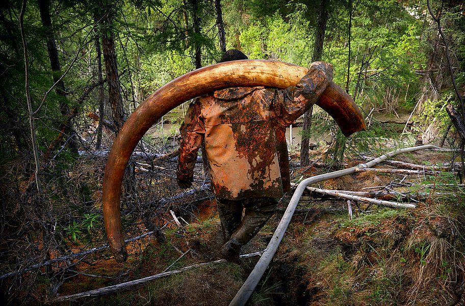 Российско-китайская компания монополизирует экспорт бивней мамонта