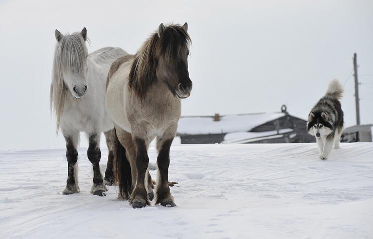 j7mOgSaiJU Якутские лошади размножаются на Ямале