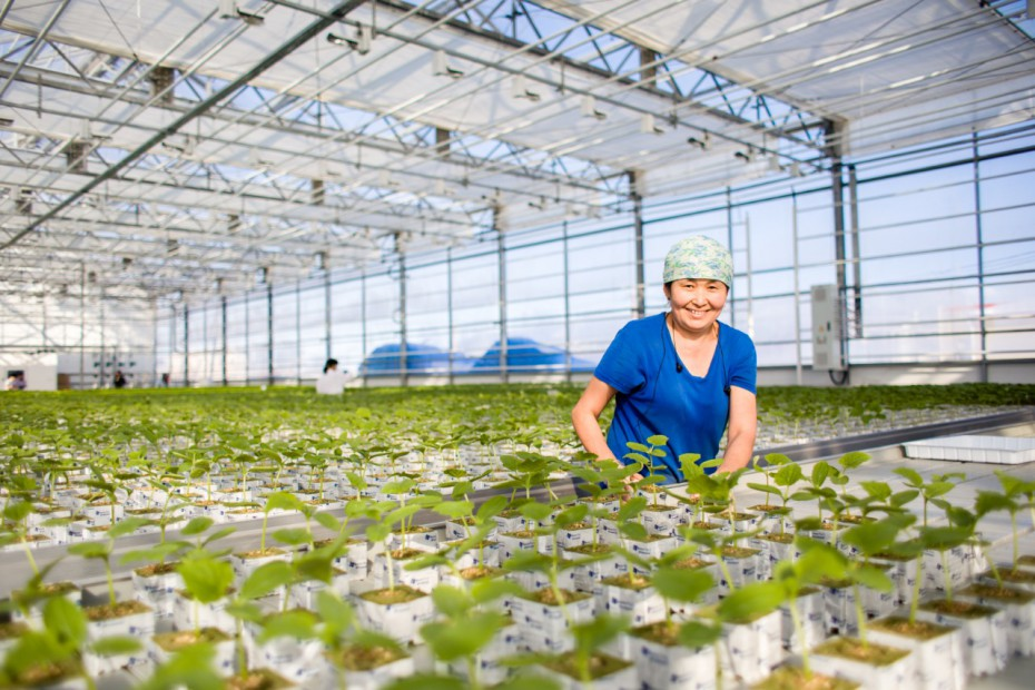 Во второй очереди тепличного комплекса «Саюри» скоро соберут урожай